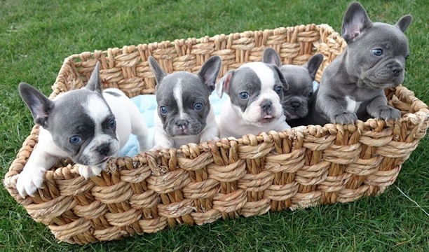 bellingham french bulldogs
