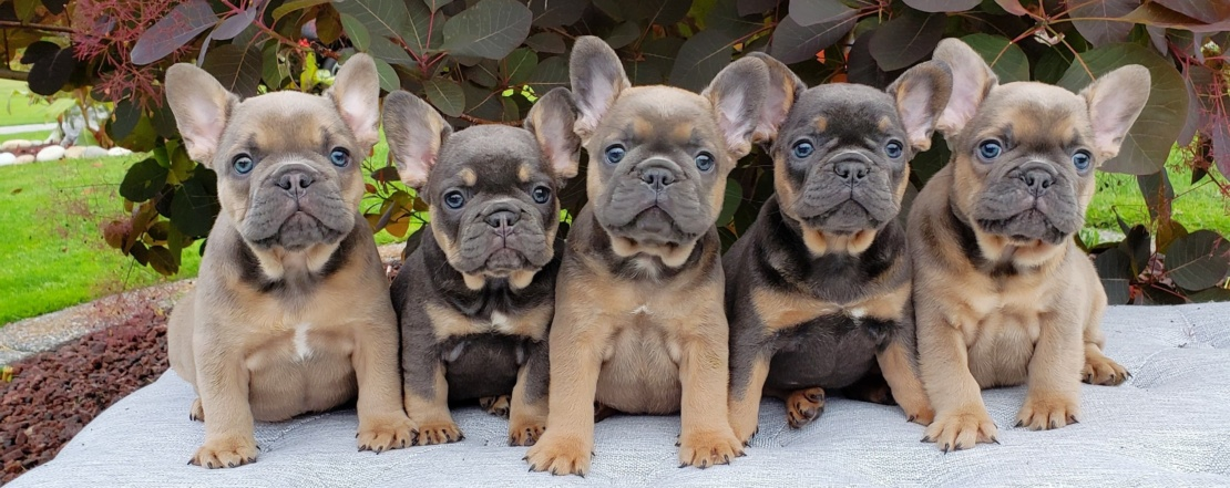 Blue French Bulldog Puppies | Luxurious French Bulldogs