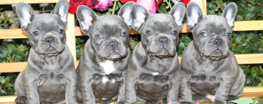 Blue French Bulldog Puppies Luxurious French Bulldogs